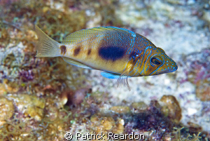 Beautiful fish.  Love the coloring.  Grand Cayman. by Patrick Reardon 
